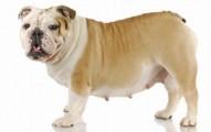 identificando-el-embarazo-en-la-mascota-canina_8qca9