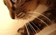 importancia-de-los-bigotes-del-gato_yhojw