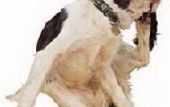 la-babesiosis-y-los-perros_r96s5