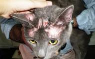 la-dermatofitosis-en-las-mascotas_lpb6t