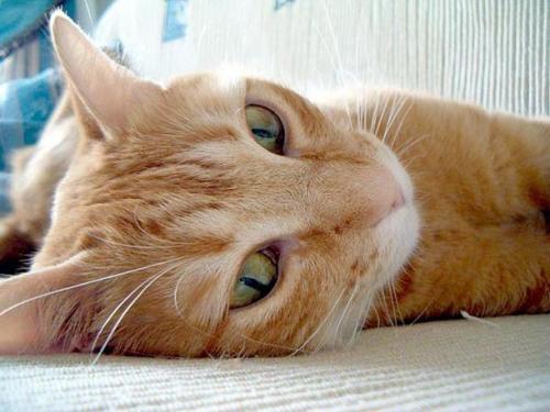 leucemia felina es: