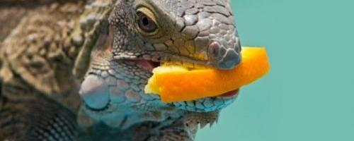 la-mejor-dieta-para-las-iguanas_upnew