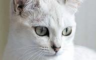 la-mejor-mascota-felina-el-gato-burmilla_j6w2p