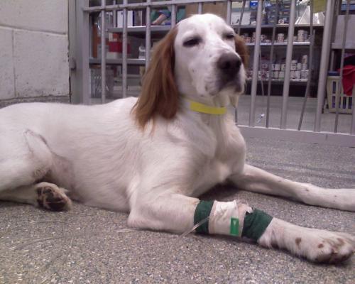 La quimioterapia en perros