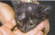 la-tina-felina-enfermedades-de-la-piel_atro1