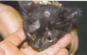 La tiña felina: enfermedades de la piel