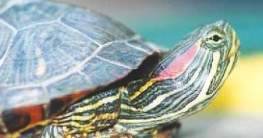 la-tortuga-chilena-y-sus-cuidados_yrl58