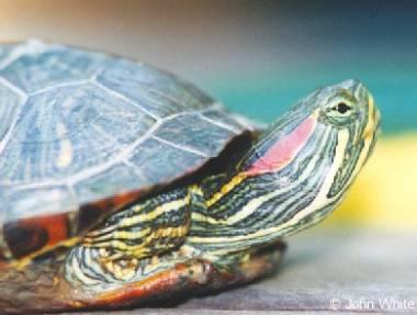 La tortuga chilena y sus cuidados