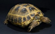 la-tortuga-rusa_do120
