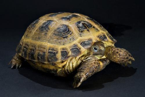 La tortuga rusa