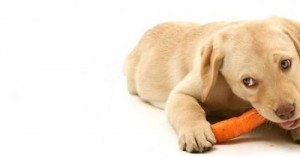 la-zanahoria-un-perfecto-bocadillo-para-los-perros_dbhs7