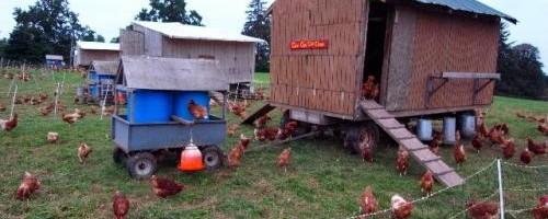 las-gallinas-ponedoras-y-la-mejor-forma-de-cuidarlas_b6z8w