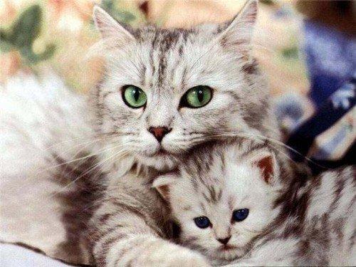 Las gatas y su instinto maternal