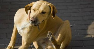 las-mascotas-y-las-pulgas_2kgqe