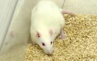 las-ratas-como-mascotas-alimentacion-cuidados-y-consejos_3ioc7