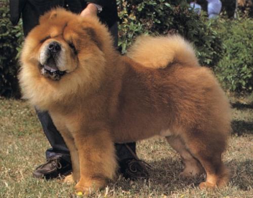 Las razas de perros chinos más conocidas