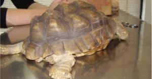 las-tortugas-y-sus-enfermedades_vp907