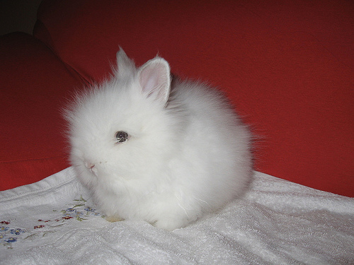 Lo mejor para el conejo angora enano