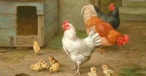 lo-que-debemos-saber-sobre-las-gallinas_8utaw