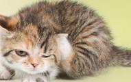 los-acaros-en-las-orejas-de-los-gatos-sintomas-y-tratamientos_fl34b