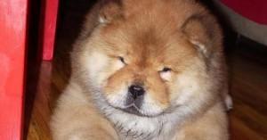 los-cachorros-chow-chow_49q1x