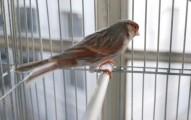 los-canarios-y-el-piojo-rojo_bu6vt