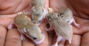 los-mejores-cuidados-para-los-hamsteres-bebes_c36rj