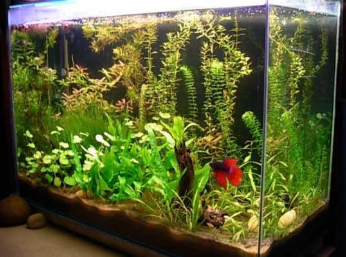 Los mejores peces para un acuario casero canal mascotas for Filtros de agua para estanques de peces