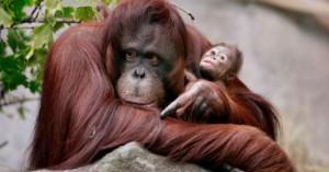 los-orangutanes-se-encuentran-en-peligro-de-extincion_bhz95