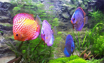 Los peces disco canal mascotas for Peces para criadero