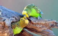 los-periquitos-y-su-reproduccion-el-bebe-periquito_t53rn