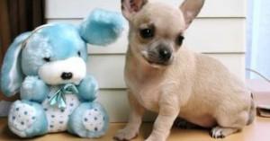 los-perros-chihuahua_dkizx