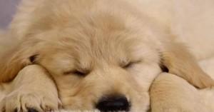 los-perros-con-hipotiroidismo_x94yu