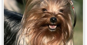 los-perros-yorkshire-terrier_1razj