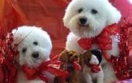 mascotas-por-san-valentin_n07sj