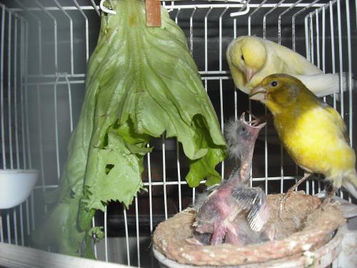 Mejorando la cría de los canarios