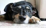 mi-perro-tiene-los-ojos-blancos-por-las-cataratas_6hpy7