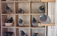 nidos-para-palomas_m87i4