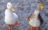 patos-mascotas-en-casa_icx0g