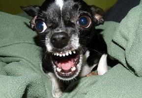 perros-agresivos-y-perros-dominantes_t2dl1