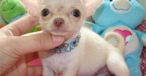 perros-chihuahuas-una-de-las-razas-mas-populares_cm8dg