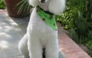 perros-de-raza-caniche_2a04e