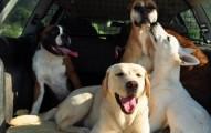 perros-tranquilos-para-viajar-en-coche_mzlob