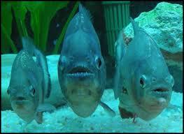Pirañas en el acuario
