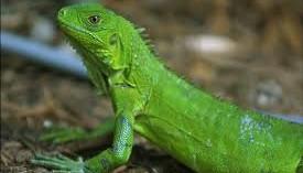 previniendo-las-enfermedades-mas-comunes-de-las-iguanas_jv3z6