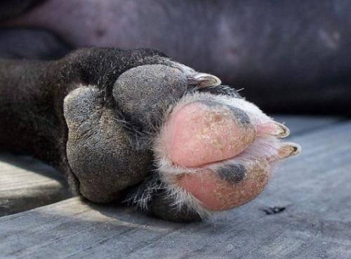 Protege las almohadillas del perro de quemaduras