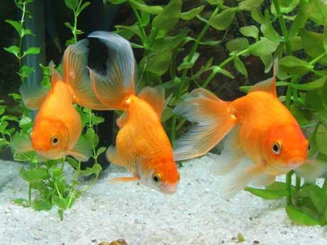 Qué peces  podemos tener en el hogar