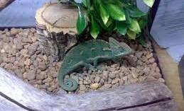 teniendo-un-camaleon-mascota_j6dsp