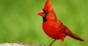un-cardenal-de-mascota_9vl3e