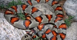 una-nueva-serpiente-mascota-la-lampropeltis_ct094